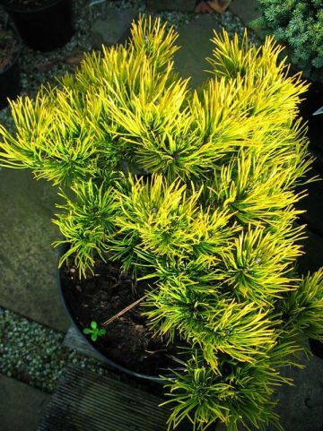 Pinus mugo 'Winter Gold' - Dwergbergden
