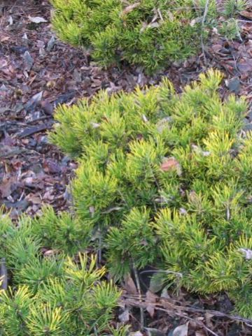 Pinus mugo 'Zundert' - Dwergbergden