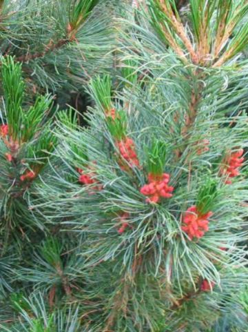 Pinus pumila 'Draijer's Dwarf' - Dwergden