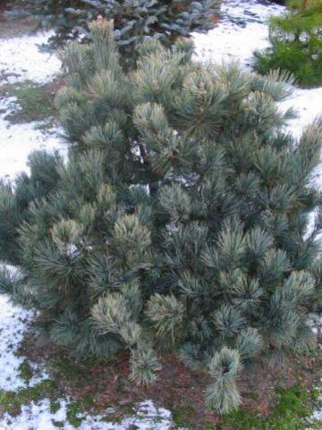 Pinus pumila 'Säntis' - Dwergden