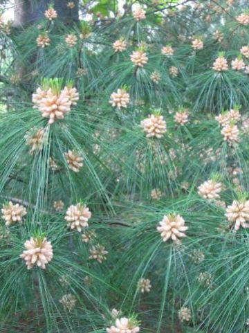 Pinus × schwerinii  - Den