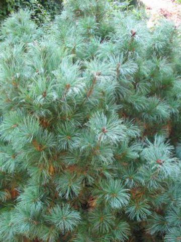 Pinus strobus 'Minima' - Dwergweymouthsden