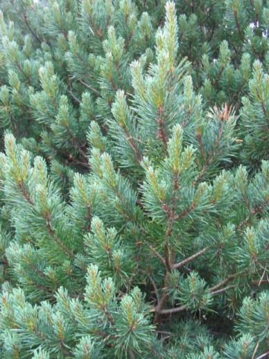 Pinus sylvestris 'Watereri' - Grove den