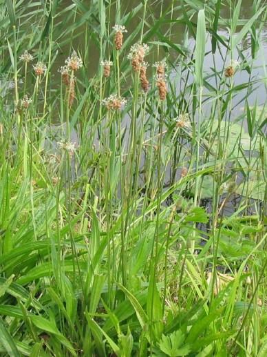 57db7e15602 Plantago lanceolata - Smalbladige weegbree | De Tuinen van Appeltern