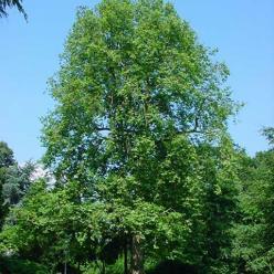Platanus x acerifolia - Dakplataan