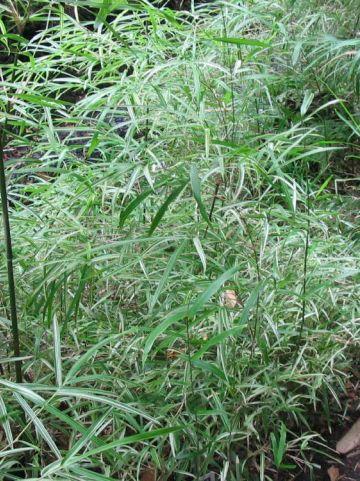 Pleioblastus chino 'Elegantissimus' - Dwergbamboe