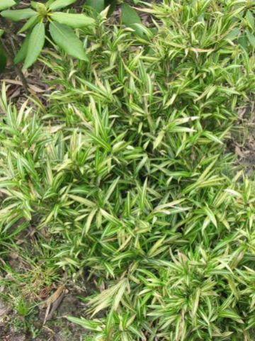 Pleioblastus chino 'Tsuboi' - Bonte dwergbamboe
