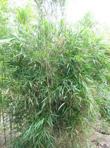 Pleioblastus linearis  - Bamboe