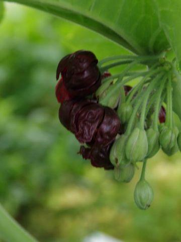 Podophyllum versipelle  - Voetblad