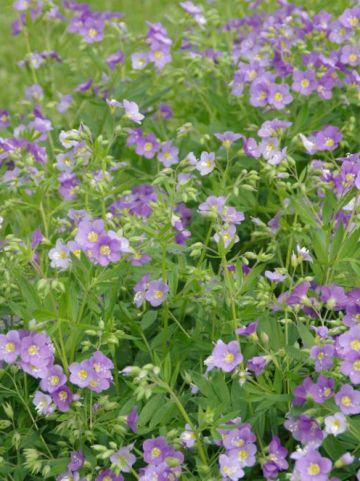 Polemonium caeruleum 'Lambrook Mauve' - Jacobsladder