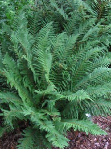 Polystichum setiferum  - Zachte schildvaren