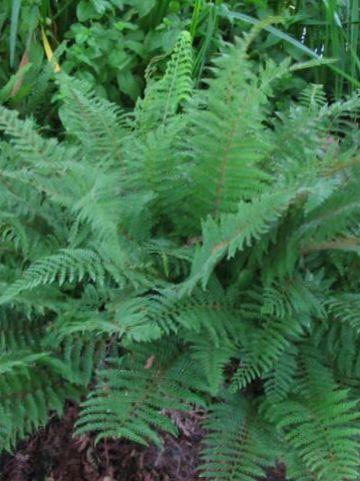Polystichum setiferum 'Proliferum' -  Zachte naaldvaren, broedvaren