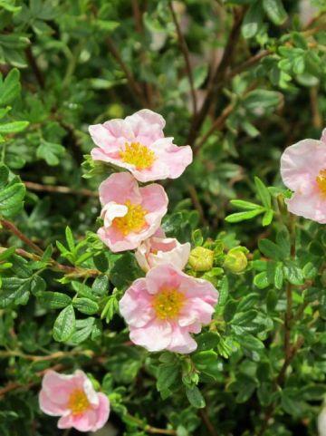 Potentilla fruticosa 'Princess' (='Blink') - Ganzerik