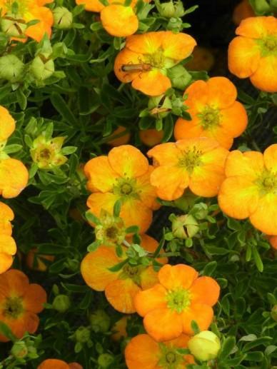 Potentilla fruticosa 'Bella Sol' (='Hachdon') - Ganzerik