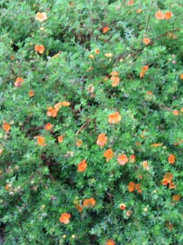 Potentilla fruticosa 'Hopley's Orange' - Ganzerik