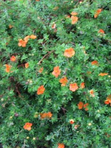 Potentilla fruticosa 'Hopley's Orange' - Ganzerik