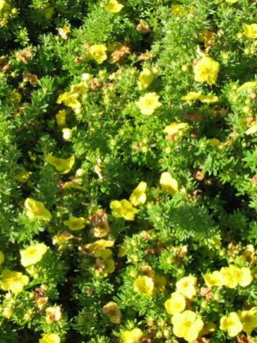 Potentilla fruticosa 'Kobold' - Ganzerik