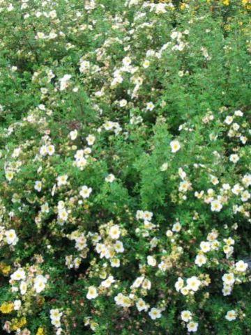 Potentilla fruticosa 'Limelight' - Ganzerik