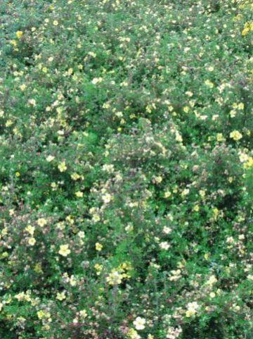 Potentilla fruticosa 'Living Daylight' - Ganzerik