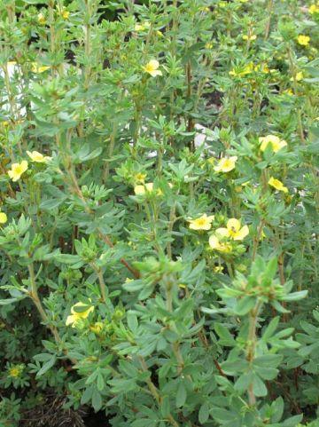 Potentilla fruticosa 'Maanelys' - Ganzerik