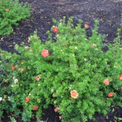 Potentilla fruticosa 'Marian Red Robin' (='Marrob') - Ganzerik
