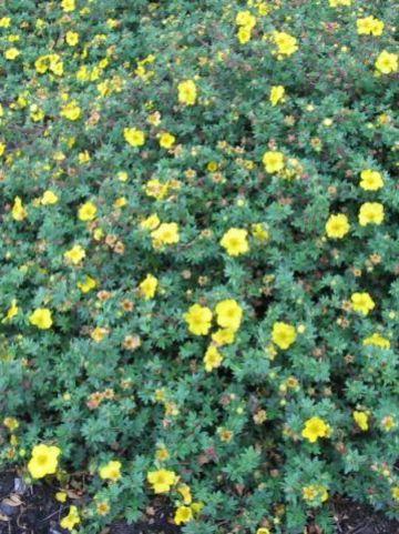 Potentilla fruticosa 'Medicine Wheel Mountain' - Ganzerik