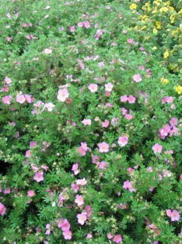 Potentilla fruticosa 'Lovely Pink' (='Pink Beauty') - Ganzerik