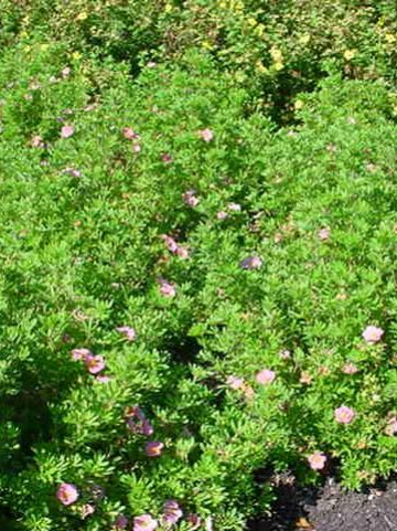 Potentilla fruticosa 'Lovely Pink' (='Pink Beauty') - Ganzerik
