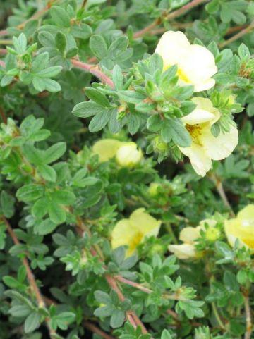 Potentilla fruticosa 'Primrose Beauty' - Ganzerik