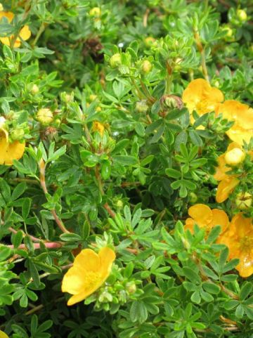 Potentilla fruticosa 'Tangerine' - Ganzerik