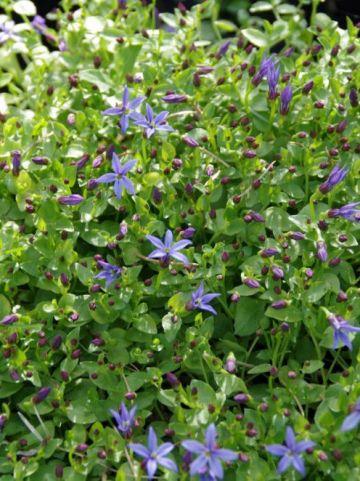 Pratia pedunculata 'County Park' -