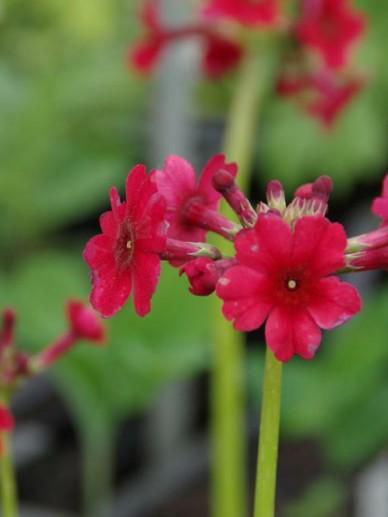 Primula japonica 'Miller's Crimson' - Sleutelbloem