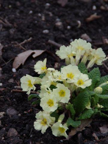Primula vulgaris  - Sleutelbloem