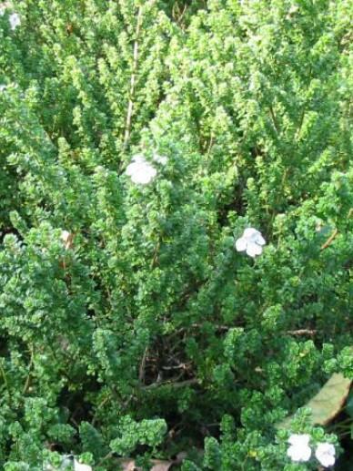Prostanthera cuneata - Muntstruik