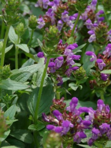 Prunella grandiflora  - Brunel
