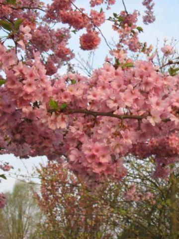 Prunus  'Accolade' - Sierkers
