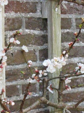 Prunus armeniaca 'Tros Oranje' - Abrikoos