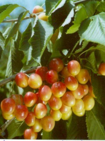 Prunus avium 'Bigarreau Napoleon' - Zoete kers , Bonte knapkers