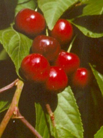 Prunus avium 'Early Rivers' - Zoete kers , Duitse kers , Franse meikers