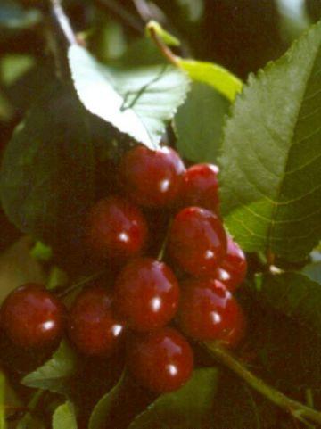 Prunus avium 'Inspecteur Löhnis' - Zoete kers
