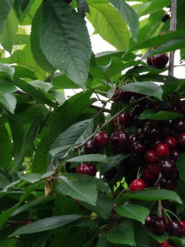 Prunus avium 'Merchant' - Zoete kers