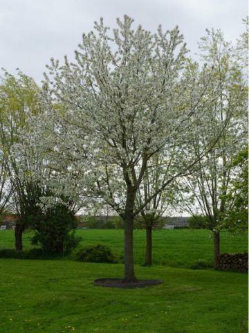 Prunus avium 'Schneider's Späte Knorpelkirsche' - Zoete kers