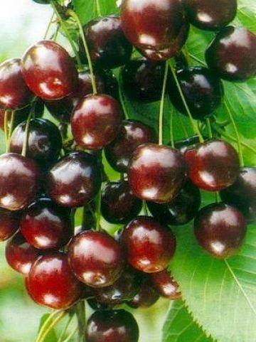Prunus avium 'Summit' - Zoete kers