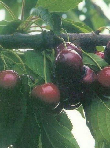 Prunus avium 'Sunburst' - Zoete kers