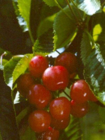 Prunus avium 'Udense Spaanse' - Zoete kers