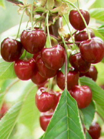 Prunus avium 'Van' - Zoete kers
