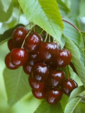 Prunus avium 'Wijnkers' - Zoete kers