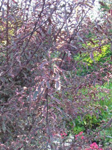 Prunus cerasifera 'Hessei' - Bontbladige kerspruim