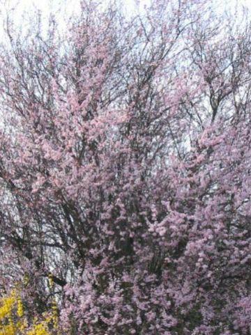 Prunus cerasifera 'Nigra' - Bruinbladige kerspruim