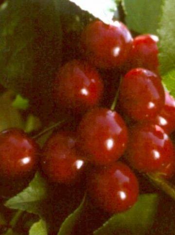 Prunus cerasus 'Kelleris 16' - Zure kers